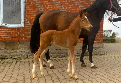 Flanders Foal Auction in May at Jumping Schröder Tubbergen