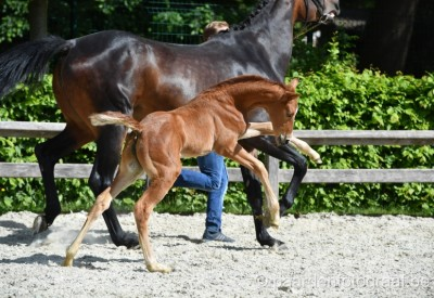 Flanders Foal Auction 25-06-2016