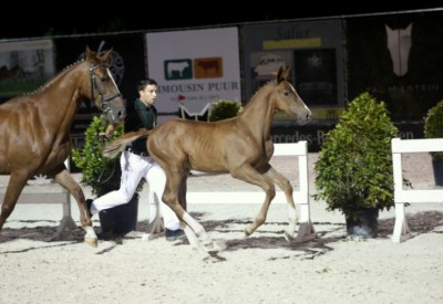 Flanders Foal Auction ook in Bonheiden in de lift